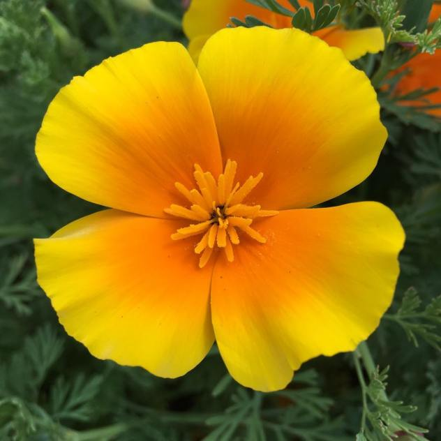 A yellow-orange California poppy in Sonoma, California