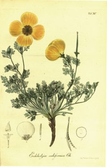 The original illustration for the California poppy drawn by Adelbert von Chamisso. He collected this specimen in San Francisco in 1816.