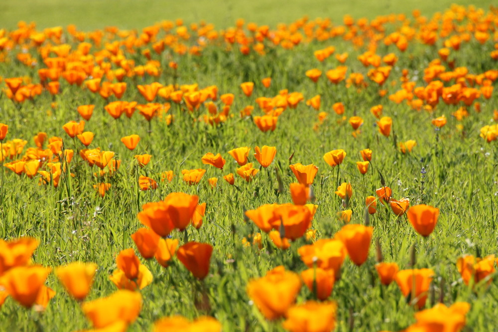 California poppies in Sonoma, California