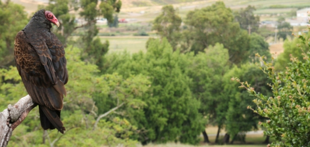 A turkey vulture over looking its domain on the loop trail at Olompali. This guy (or gal) was about 5 feet away from me!