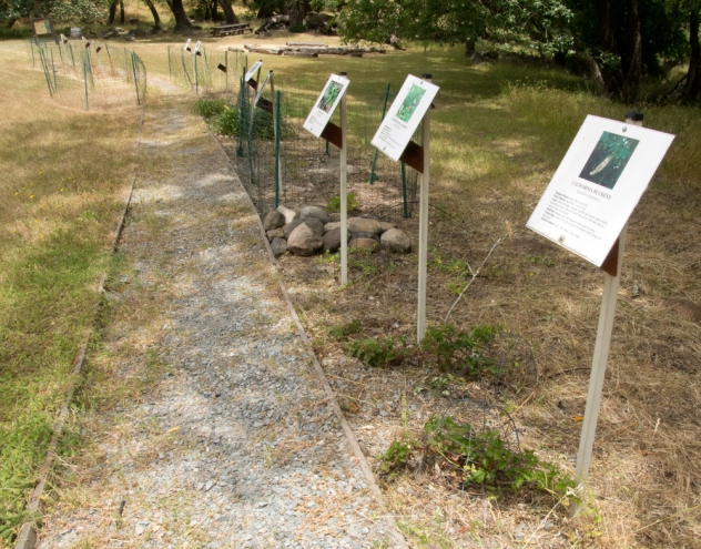 Native plant garden at the Coast Miwok village