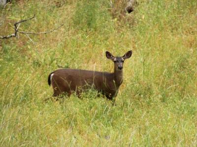 Deer at Olompali State Historic Park in Novato, California