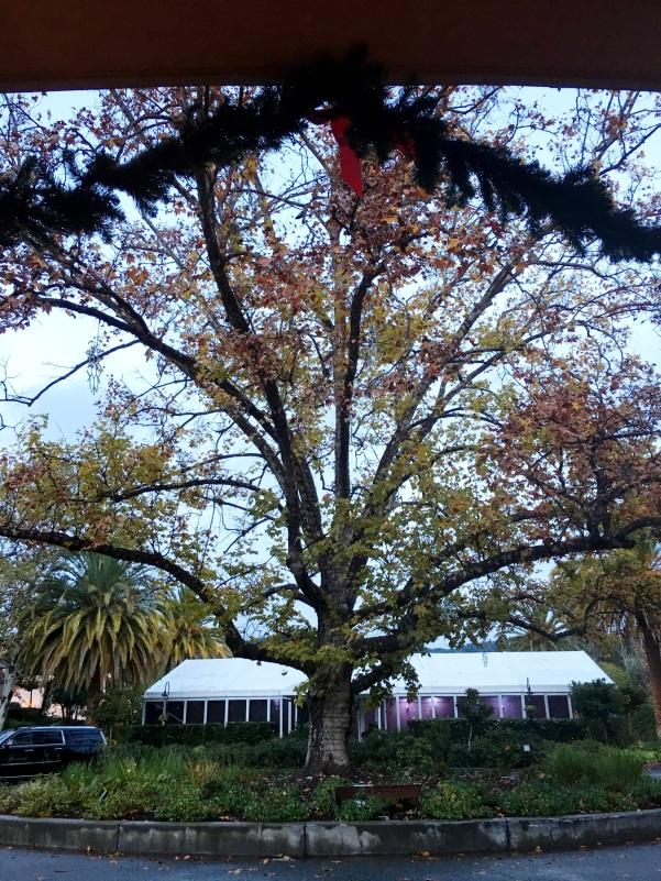 The historic sycamore tree at the Fairmont Sonoma Mission Inn in Sonoma, California