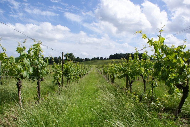 Denbies Vineyard in Surrey (Photo: Lawrence, CC BY NC ND 2.0)